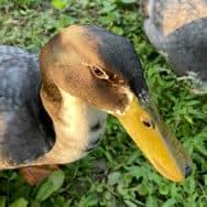Yamil's Duck, Cucu