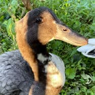 Yamil's Duck, Ginger
