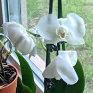 Taj's orchid, Misty W. Romanoff